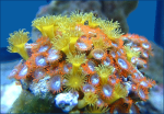 What are most sunscreens doing to coral and their hormone disrupting potential in humans and other species